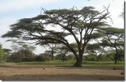 Ver más árboles de Etiopia haciendo click